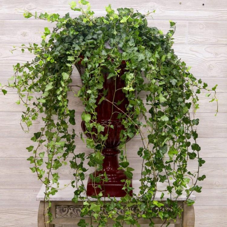 Обрезка - Уход за вьющимися комнатными растениями