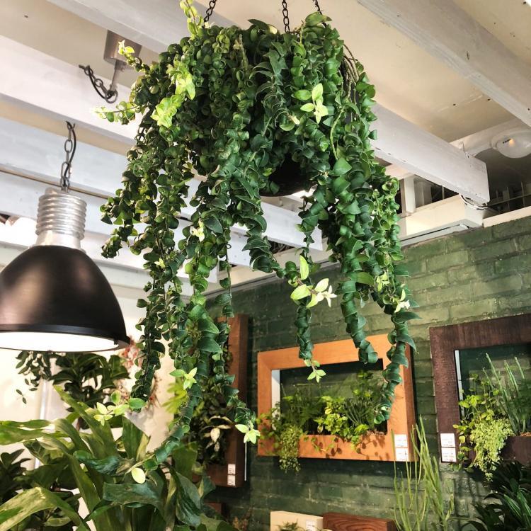 Болезни и вредители - Вьющиеся комнатные растения
