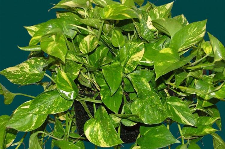 Вьющиеся комнатные растения - фото