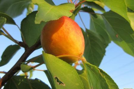 Болезни листьев у абрикоса: описания с фото, лечение