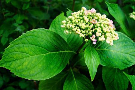 Болезни листьев у гортензии: описания с фото, лечение