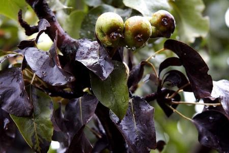 Болезни листьев груши: описания с фото, лечение