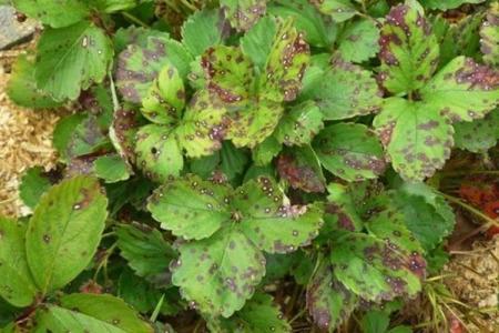 Болезни листьев клубники: описания с фото, лечение