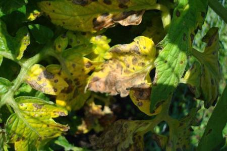 Болезни листьев у помидоров: описания с фото, лечение