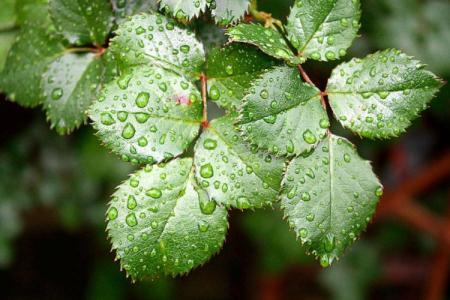 Болезни листьев розы: описания с фото, лечение