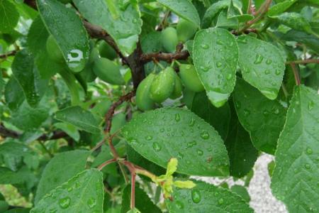 Болезни листьев сливы: описания с фото, лечение