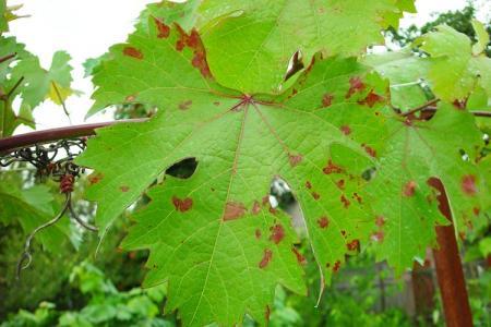 Болезни листьев винограда: описания с фото, лечение