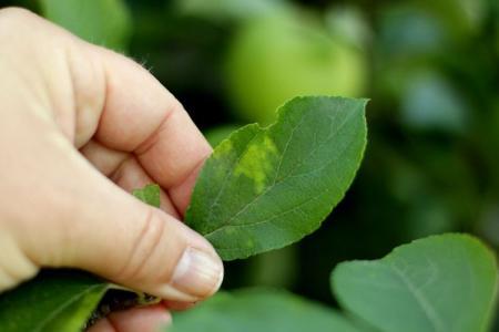 Болезни листьев яблони: описания с фото, лечение
