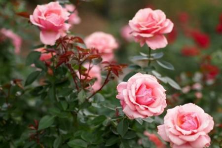 Болезни роз: описания с фото и способы лечения