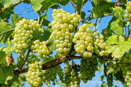 Болезни винограда: описания с фото и способы лечения