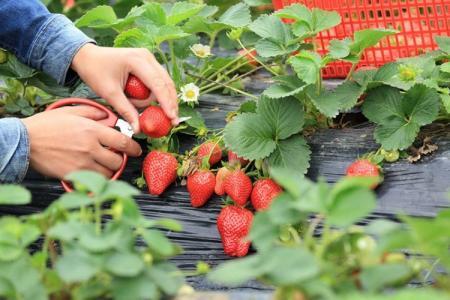 Чем подкормить клубнику весной для хорошего урожая