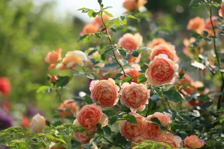 Как правильно и чем подкормить розы весной