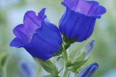 Цветы, похожие на колокольчики: названия и фото