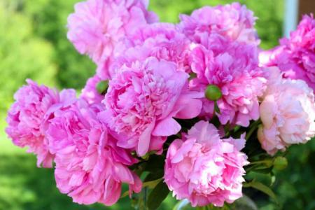 Цветы, похожие на пионы: названия и фото (каталог)