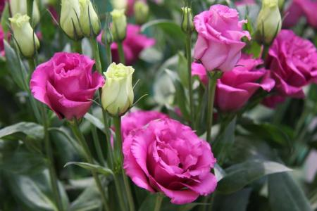 Цветы, похожие на розы: названия и фото (каталог)