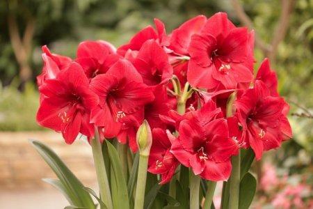 Луковичные комнатные цветы: фото, названия и описания (каталог)