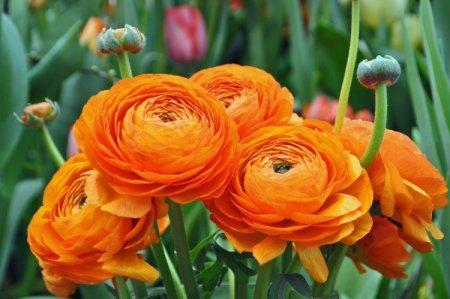 Цветы лютики (50 фото): виды, посадка и уход