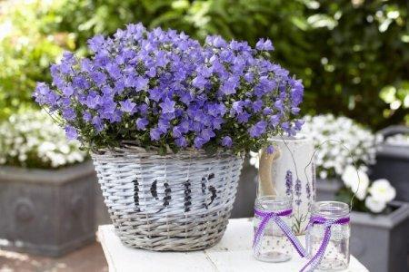 Ампельные цветы: фото, названия и описания (каталог)