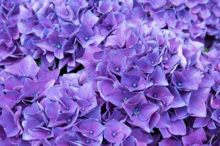 Фиолетовые цветы: названия, фото и описания (каталог)