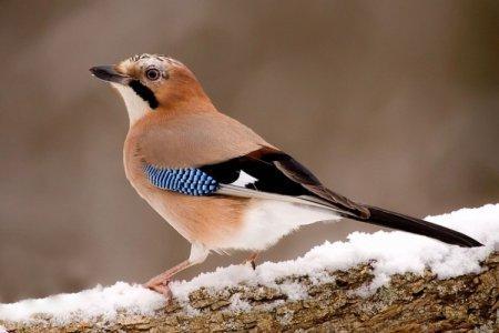 Сойка (50 фото): описание птицы, чем питается и где обитает