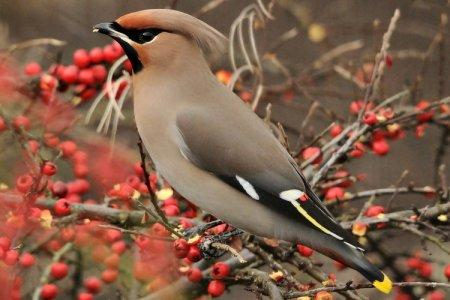 Свиристель (60 фото): описание птицы, где обитает и чем питается