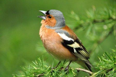 Зяблик (50 фото): описание птицы, среда обитания и чем питается