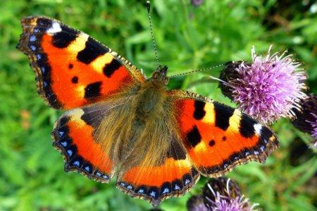 Бабочка крапивница (50 фото): описание, виды и среда обитания