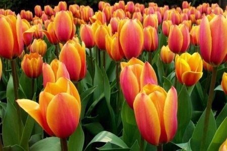 Тюльпаны (60 фото): виды, посадка и уход в открытом грунте