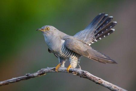 Кукушка (50 фото): описание птицы, среда обитания и чем питается