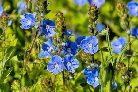 Синие цветы: названия, фото и описания (каталог)