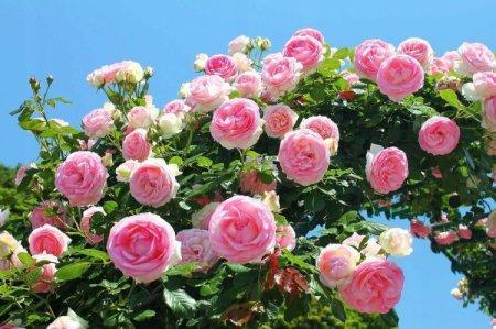 Плетистая роза (60 фото): виды, выращивание, уход и посадка
