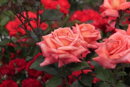 Чайно-гибридные розы (50 фото): виды, уход и посадка в открытом грунте