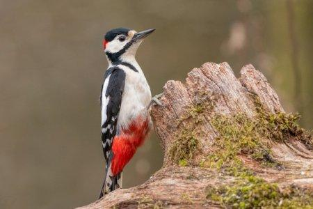 Дятел (50 фото): описание птицы, чем питается и где обитает