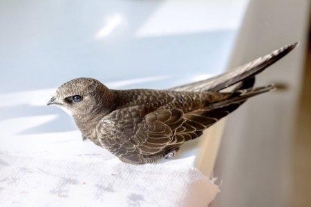 Стриж (50 фото): описание птицы, чем питается и где обитает