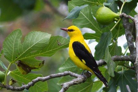 Иволга (50 фото): описание птицы, среда обитания и чем питается