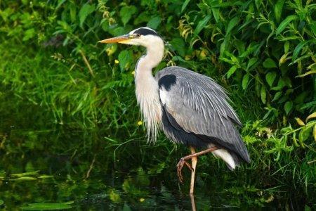 Цапля (50 фото): описание птицы, среда обитания и чем питается