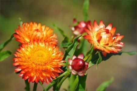 Гелихризум (50 фото): виды, посадка и правильный уход за цветком