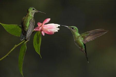 Колибри (50 фото): описание птицы, чем питается и где обитает