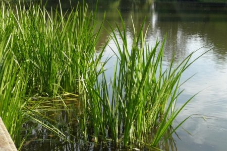 Аир (50 фото): виды, посадка и выращивание