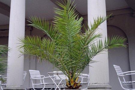Финиковая пальма (50 фото): виды, уход и выращивание в домашних условиях