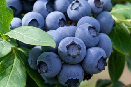 Голубика Блюкроп: описание сорта, уход и посадка