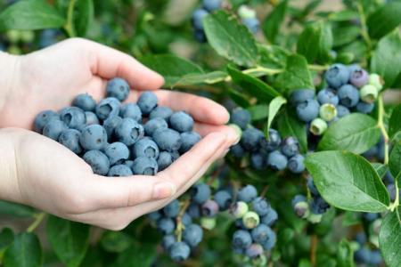 Голубика: сорта, уход и выращивание (фото)