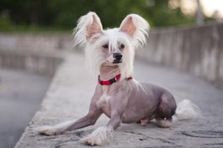 Китайская хохлатая собака: описание породы (60 фото)