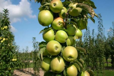 Колоновидная яблоня Президент: уход и посадка