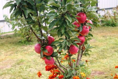 Колоновидная яблоня: сорта, уход и выращивание (фото)