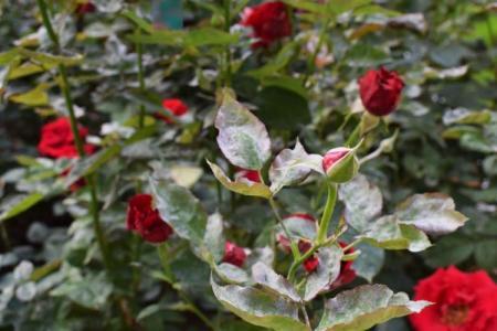 Мучнистая роса на розах: меры борьбы и лечение