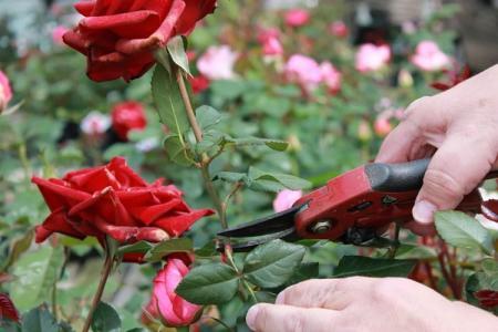 Обрезка роз весной: пошаговая инструкция для начинающих