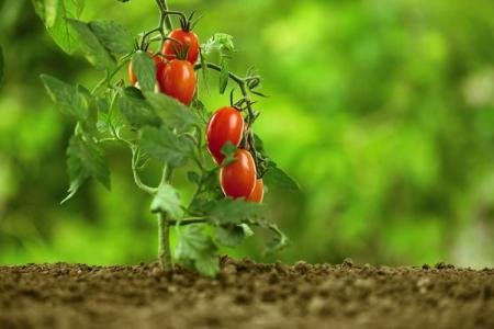 Почему скручиваются листья у помидоров: что делать?