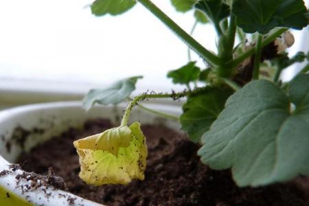 Почему желтеют листья у герани: что делать?