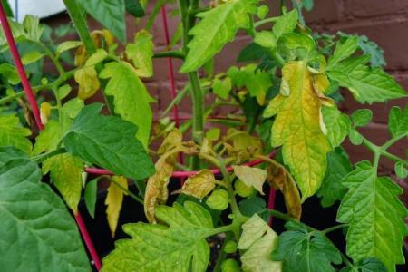 Почему желтеют и сохнут листья у помидоров